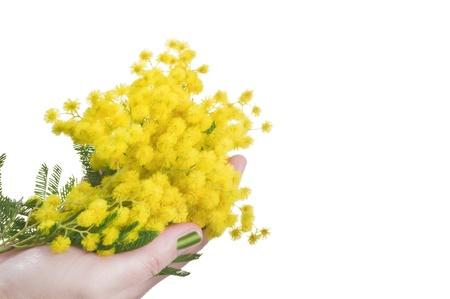 mimose: Mimosa in mano il simbolo della Festa della Donna