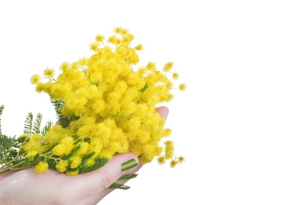 Mimosa in the Hand symbol of Women's Day Stock Photo - 10928748