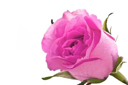 Beautiful roses isolated on white background photo