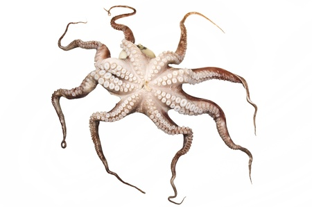 octopus on the white background photo