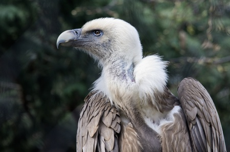 assailant: vulture of snow in the zoo park