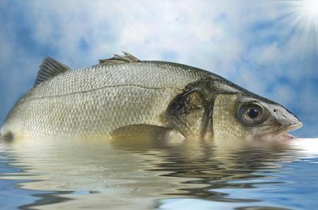 bass fish: sea bass  on water in a sun day Stock Photo