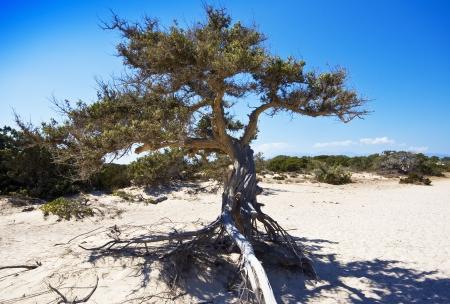 rocky mountain juniper: Old Juniper in Crissi Island Crete Greece