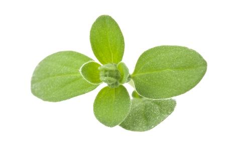 origanum: Fresh leaves of marjoram close up on white