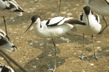 curved leg: avocet warms in the sun in the park Stock Photo