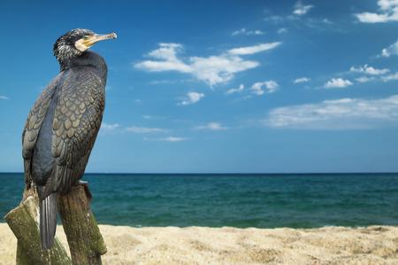 phalacrocoracidae: Great Cormorant (Phalacrocorax lucinus) above water on trunk tree Stock Photo