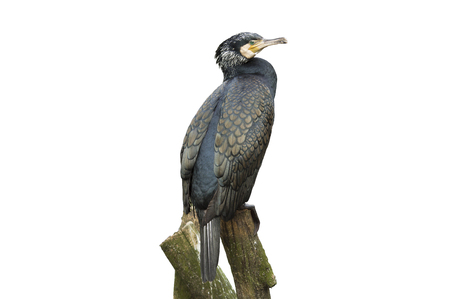 suliformes: Great Cormorant (Phalacrocorax lucinus) above water on trunk tree Stock Photo