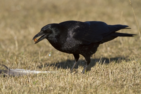 corax: Common Raven (Corvus corax) eating Stock Photo