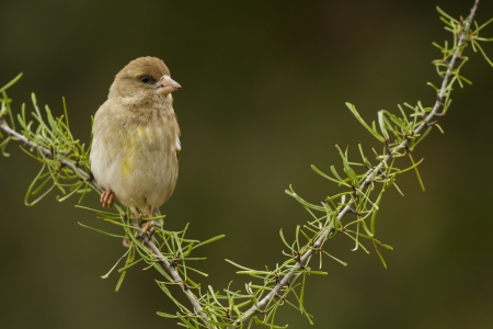 The Green Finch is a fringillidae, he is on the branch watching around Stock fotó