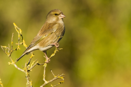 The Green Finch is a fringillidae, he is on the branch watching around. With a warm lights. Stock fotó