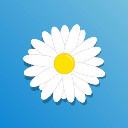 chamomile flower: Chamomile flower. Beautiful white daisy chamomile flower isolated on blue background.
