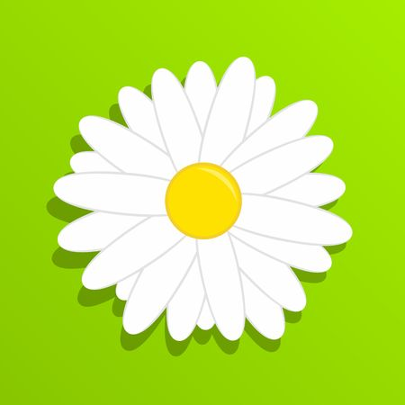 chamomile flower: Chamomile on grass. Beautiful white daisy chamomile flower isolated on green background.