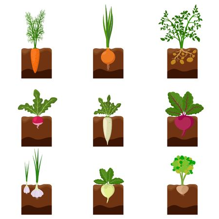 Set of different vegetables plant growing underground: carrot, onion, potatoes, radish, daikon, beet, garlic, celery. Root crop vegetable planted in the ground garden. Harvest vector illustration