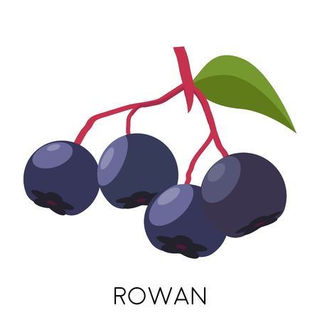 Black rowan berry flat icon isolated on white background. Healthy fruit. Eco delicious food. Vector illustration
