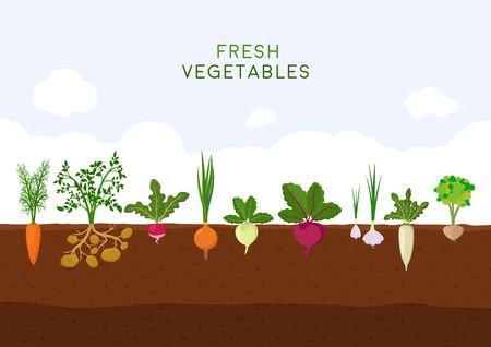 Fresh organic vegetable garden on blue sky background. Garden with different kind root veggies. Set vegetables plant growing underground: carrot, onion, potatoes, radish, daikon, beet, garlic, celery.