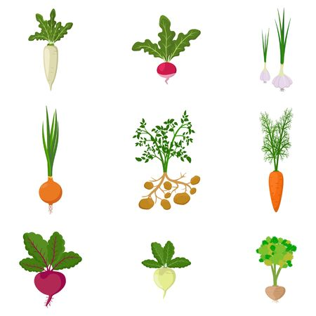 Set of fresh organic vegetable garden isolated on white background. Different kind root veggies: carrot, onion, potatoes, radish, daikon, beet, garlic, celery. Vector illustration