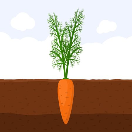 Carrot with green sprout on top in soil, Fresh organic vegetable garden plant growing underground, Cartoon flat vector illustration.
