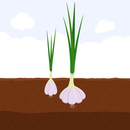 Garlic with green sprout on top in soil, Fresh organic vegetable garden plant growing underground, Cartoon flat vector illustration.  イラスト・ベクター素材