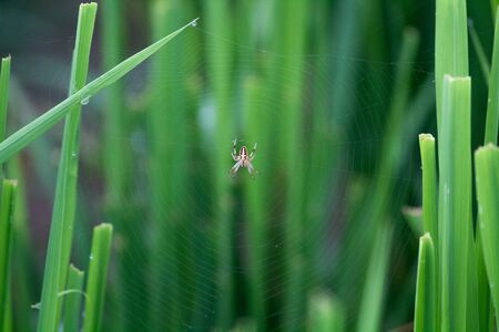 Orb weaver Spider on its web between the grass 版權商用圖片