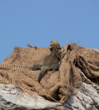 Low angle zoom in shot of a Monitor Lizard looking up in the sky showing innocent animal babies concept. Stock Photo
