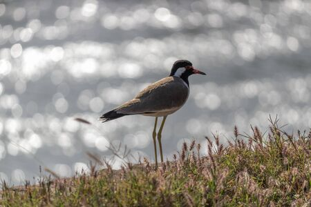 Zoom in shot of a Large Plover or Wader bird on river bank with beautiful bokeh behind.