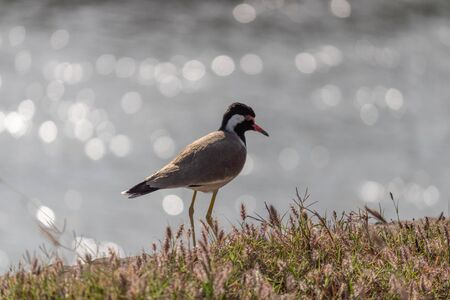 Zoomed shot of a Plover or Lapwing bird on the lake bank with light reflections from water behind.