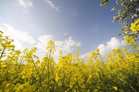 colza: colza amarillo en primavera