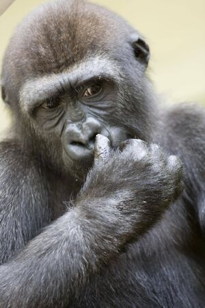 gripping hair: gorilla is thinking about
