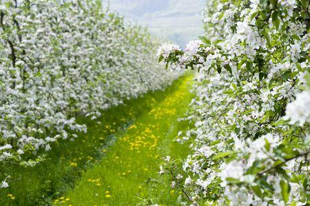 meran: apple blossoms at Bozen in Italy in springtime