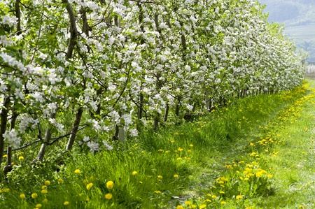 meran: apple blossoms at Bozen in Italy in springtime