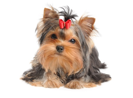 Yorkshire Terrier with red bow isolated on white Stock Photo - 20395781