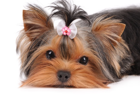 yorkie: Portrait of cute puppy lying on white Stock Photo