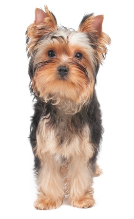 Puppy of Yorkshire Terrier looks into the camera photo
