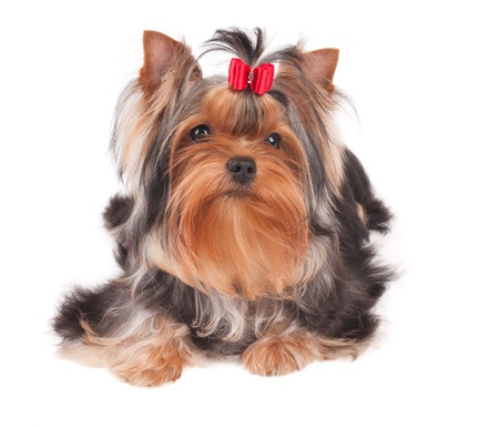 Yorkshire Terrier with red bow isolated over white photo