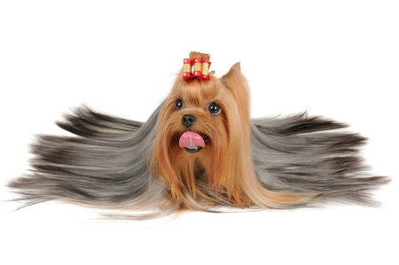 Long coated Yorkshire Terrier lies on white background photo