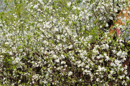 Many small white flowers bloom on the bush of blackthorn stock photo many small white flowers bloom on the bush of blackthorn stock photo 20982600 mightylinksfo