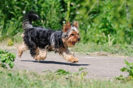 no correr: Ejecuci�n de Yorkshire Terrier dispar� en el momento en que doesn Foto de archivo