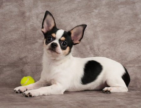 Chihuahua and yellow ball on textile background Standard-Bild