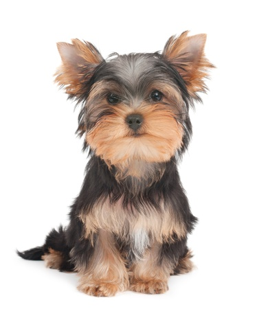 Puppy of the Yorkshire Terrier on white background photo
