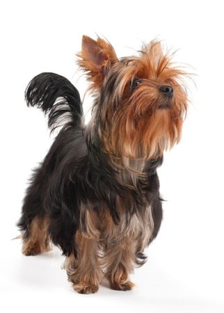 One Yorkshire Terrier stands on white background photo