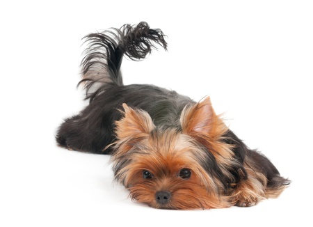 Yorkshire terrier lies and poses on white background