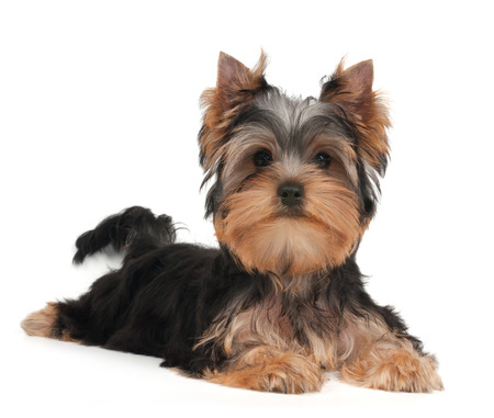 lap dog: Cute Yorkshire Terrier puppy on the white background Stock Photo