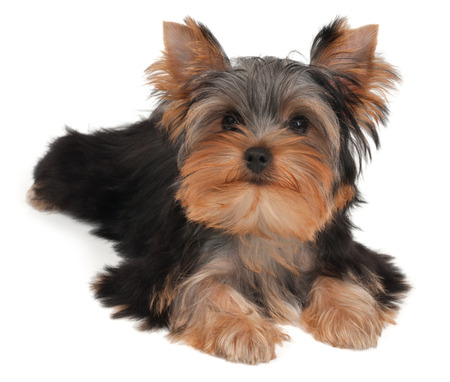 Adorable and cute puppy of the Yorkshire Terrier