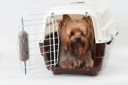 house pet: Opened pet travel plastic carrier with Yorkshire Terrier inside Stock Photo