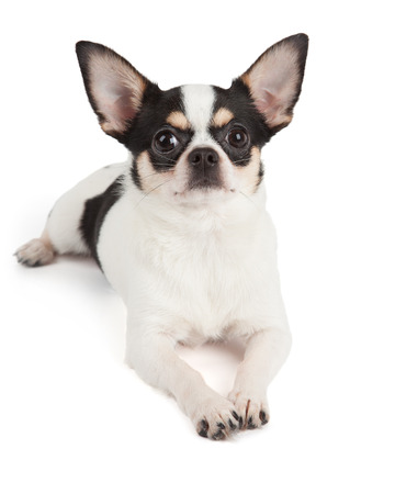 Cute Chihuahua dog isolated over white background Stock Photo