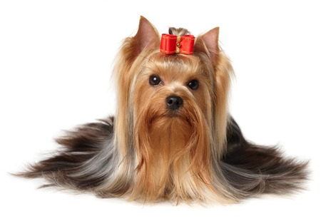 Yorkshire Terrier with red bow Stok Fotoğraf