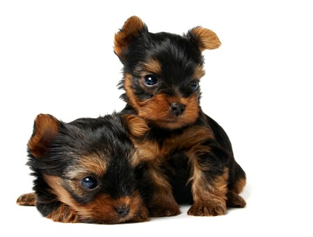 adore: Two cute puppies of the Yorkshire Terrier