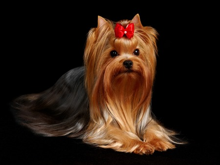 Beautiful Yorkshire Terrier on the black background photo