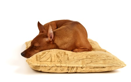 the well groomed: Miniature Pinscher sleeps on the pillow Stock Photo