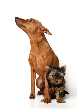 black bitch: Red Miniature Pinscher and puppy of the Yorkshire Terrier isolated on white Stock Photo